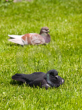 Pigeons Stock Photography - Image: 14072712