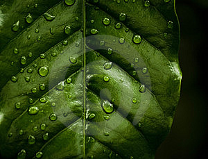 Water Drops On A Leaf Royalty Free Stock Photography - Image: 14073547