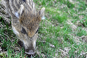Young Wild Boar Royalty Free Stock Images - Image: 14074179
