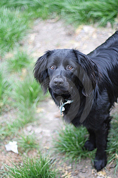 Black Springer Spaniel Stock Image - Image: 14074981
