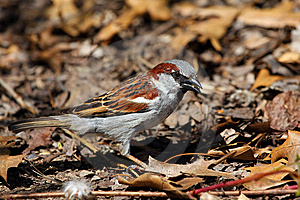 House Sparrow Male Royalty Free Stock Image - Image: 14075766