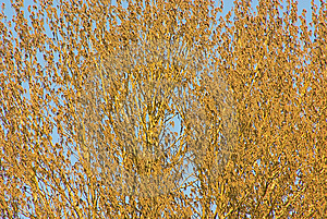 Poplar Royalty Free Stock Photo - Image: 14079285