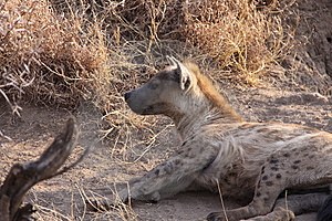 Spotted Hyena Royalty Free Stock Image - Image: 14080496