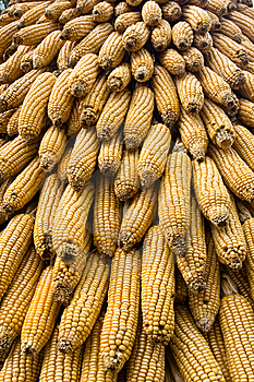 Corn Ears Royalty Free Stock Photography - Image: 14084317