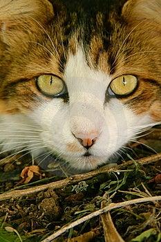 Gato Blanco Y Marrón De Maine Coone Fotos de archivo - Imagen: 14088853