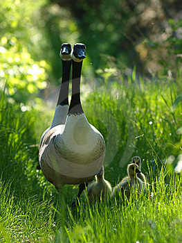 Barnacle Goose Stock Photography - Image: 14089752