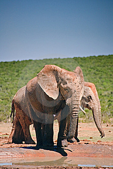 Elephant Drinking At Pool Stock Image - Image: 14091871