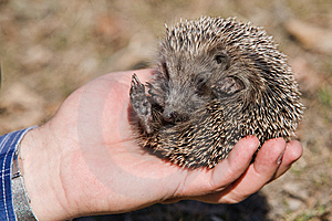Small Hedgehog In Hand. Stock Photos - Image: 14092103
