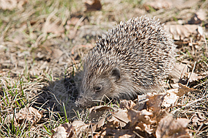 Beautiful Asian Hedgehog. Stock Photos - Image: 14092123