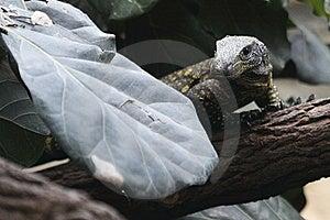 Cuban Rock Iguana Royalty Free Stock Photography - Image: 14092137