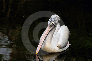 PElican Royalty Free Stock Photography - Image: 14093907
