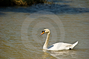Mute Swan Stock Images - Image: 14096644