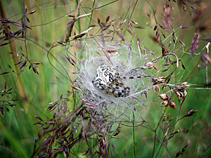 Pregnant Spider Stock Photo - Image: 14100720