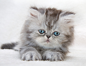Portrait Of Fluffy Kitten Royalty Free Stock Photo - Image: 14102825