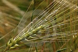 Wheatear Ripe Royalty Free Stock Images - Image: 14103289