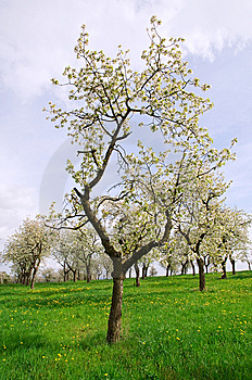 Spring Trees On The Meadow Stock Photo - Image: 14105100