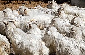Sheep Royalty Free Stock Photo - Image: 14108065