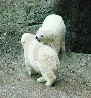 Cubs Of A Polar Bear Royalty Free Stock Images - Image: 14109459