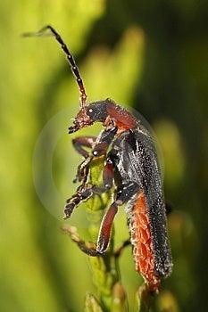 Longhorn Beetle - Strangalia Melanura Royalty Free Stock Photography - Image: 14109787