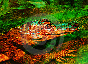 Crocodile In Water Royalty Free Stock Images - Image: 14109819