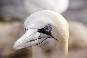 Northern Gannet Royalty Free Stock Images - Image: 14110819