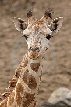 Portrait Of A Young Giraffe Stock Photos - Image: 14111093