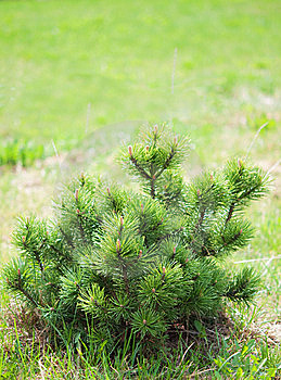 Small Pine On Green Background. Stock Photos - Image: 14111393