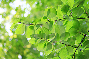 Fresh Leaves In Spring Stock Photo - Image: 14111940