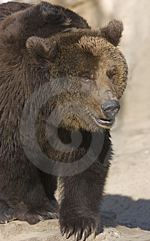 Prowling Brown Bear Royalty Free Stock Photography - Image: 14113197
