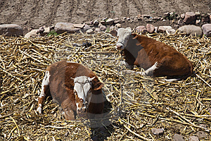 Brown Cattle Stock Photography - Image: 14114862
