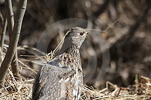 Spring Ruffed Grouse Royalty Free Stock Photos - Image: 14115118