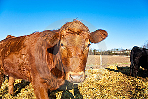 Friendly Cattle On Straw Royalty Free Stock Photo - Image: 14116365