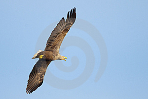 White Tailed Eagle In Flight Stock Photos - Image: 14117043