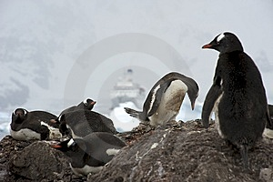 Gentoo Penguins Royalty Free Stock Images - Image: 14117479