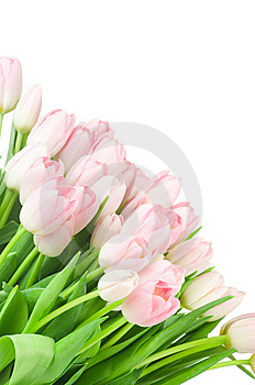 Tulips Isolated On White Royalty Free Stock Photography - Image: 14117717