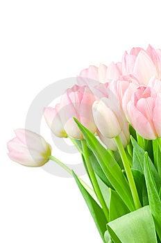 Tulips Isolated On White Royalty Free Stock Photo - Image: 14117775