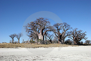 Baobab Tree In Botswana Royalty Free Stock Image - Image: 14118616