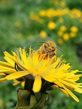 Honeybee On Dandelion Stock Photo - Image: 14119850