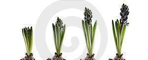Hyacinthus Stem Stock Photos - Image: 14121953