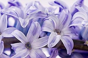 Hyacinthus Flower Royalty Free Stock Images - Image: 14121959