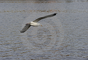 Herring Gull Stock Image - Image: 14125501