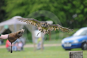 Owl Flying Royalty Free Stock Image - Image: 14126736