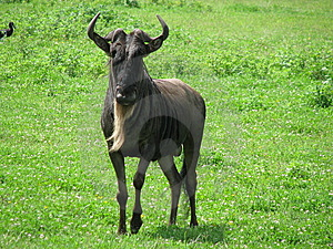 Blå Ngorongorotanzania Wildebeest Royaltyfri Bild - Bild: 14128886
