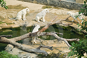 Several White Tiger  In The Zoo Royalty Free Stock Photography - Image: 14130177