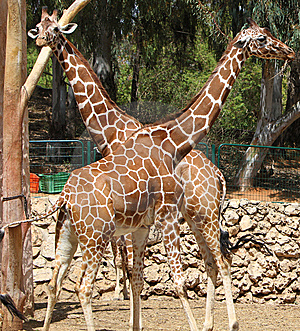 Young Giraffe Couple At The Zoo Stock Photography - Image: 14132182