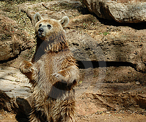 Brown Grizzly Bear Stock Image - Image: 14132201