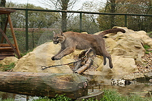 Mountain Lion Stock Photos - Image: 14135633