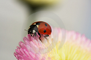 Ladybug On A Pink Flower Stock Images - Image: 14138524