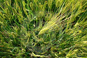 Green Wheat Field Stock Images - Image: 14139984