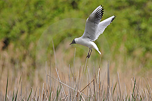 Laughing Gull Landing On Its Nest Stock Photos - Image: 14140893